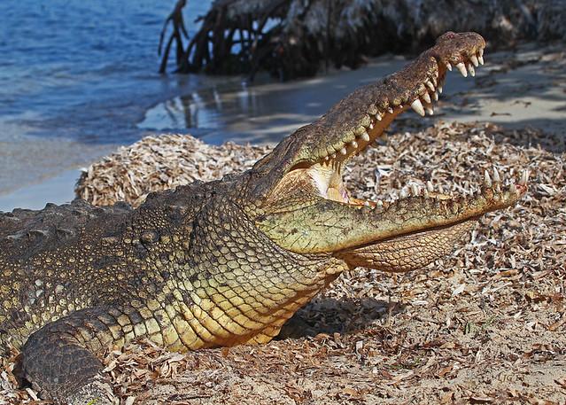 Croc Growl