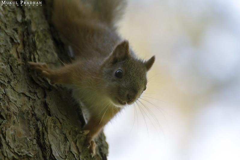 Squirrel by pradhanmukul