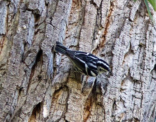 blackandwhitewarbler mniotiltavaria
