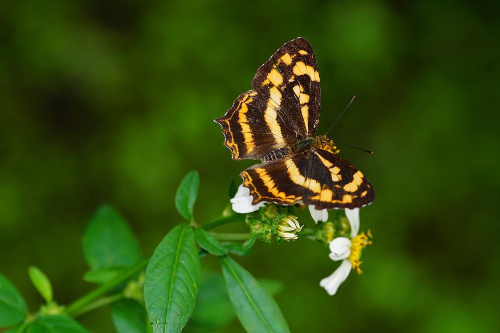 盛蛺蝶屬散紋盛蛺蝶-3