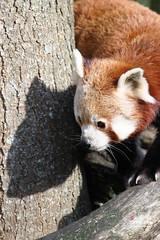 Roter Panda YING