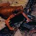 Cayenne Stubfoot Toad (Atelopus flavescens) ©berniedup