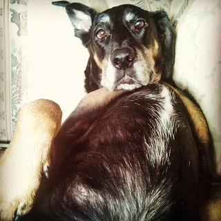 Scratch my belly? #dobermanmix #dogstagram #lazy