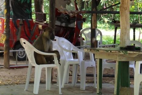 狒狒坐在開會用的椅子上,許惠婷攝