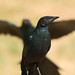 Juvenile Long-Tailed Starling with blurred form behind