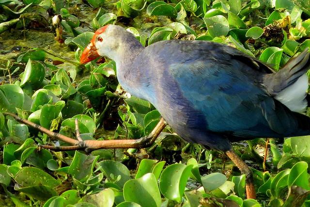 Purple Moor hen