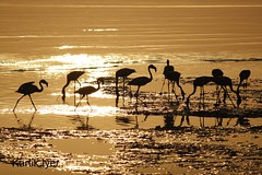 Flamingos feeding at Sewri