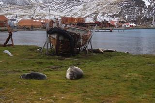427 Zeeolifanten bij Grytviken