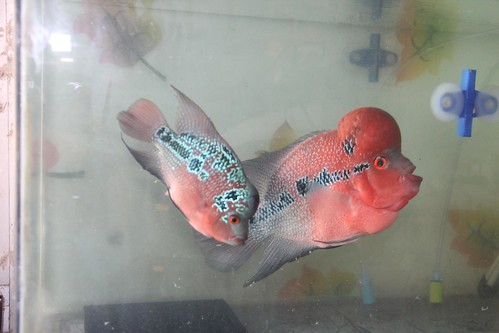 Marziyas Super Red Dragon Flowerhorns Breeding Pair by firoze shakir photographerno1