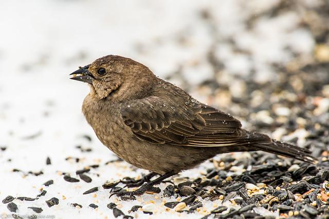 Birds_Snow_03.07.14-8