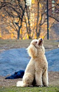 Poodle in Central Park