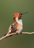 Rufous scratching by Martin Dollenkamp