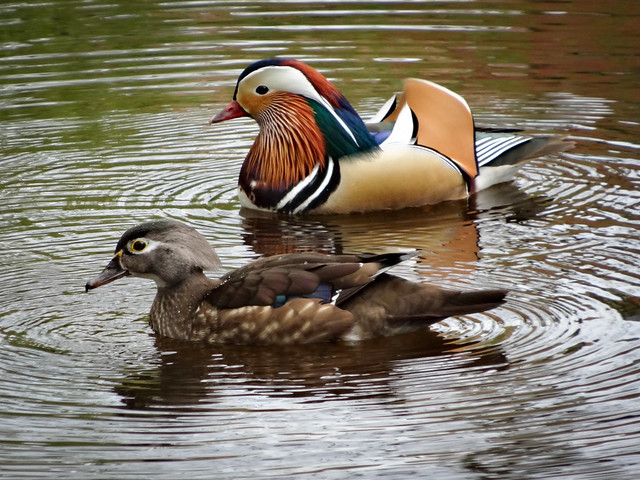 Mandarin duck, Hall Drive Pond, Salhouse