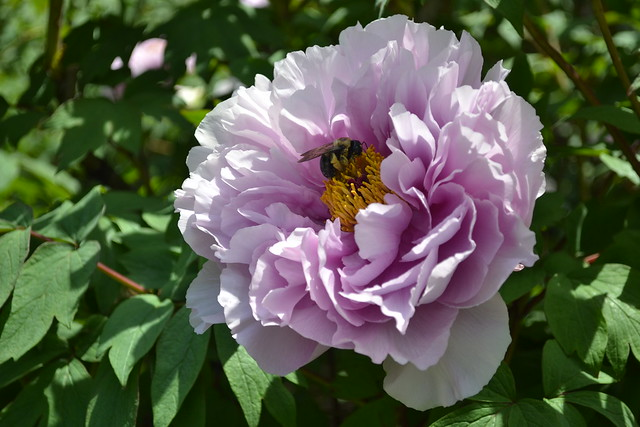 Paeonia suffruticosa  'Kamata Fuji' (Japanese tree peony) in the Tree Peony Collection. Photo by Morrigan McCarthy.