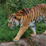 Tigers at Dartmoor Zoo
