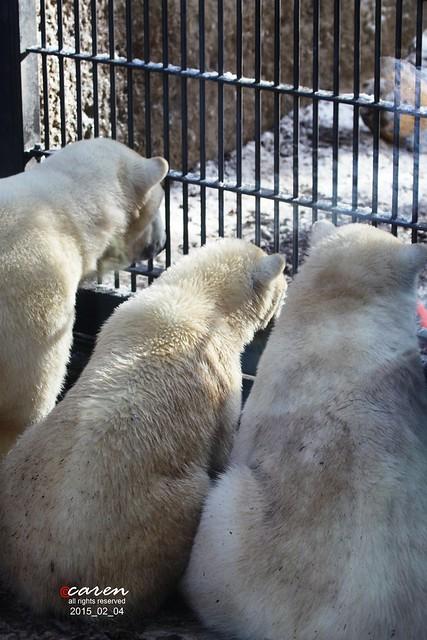 Eisbären Giovanna Nobby&Nela 2015_02_04 098