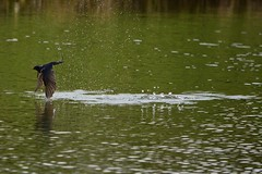 HolderFlyfishing Swallows.