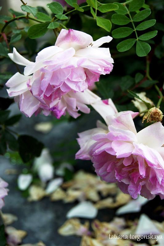Бело-розовые розы