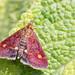 Mint Moth by DavidHowarthUK