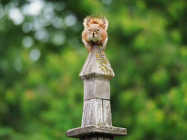 Squirrel on a wooden spire English Garden Assiniboine Park Winnipeg 2