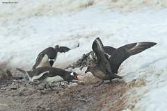 Skua Stealing Penguin Egg