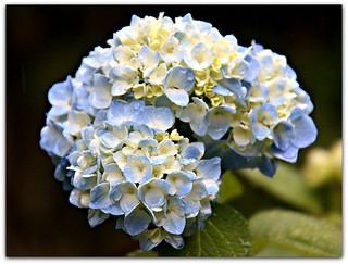 """Smooth hydrangea flowers are sweetly scented."""