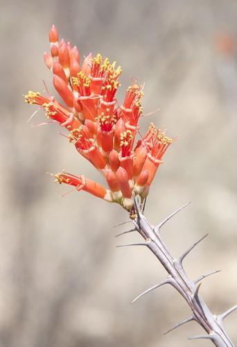 OcotilloBlossoms