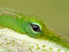 Anole eye movement