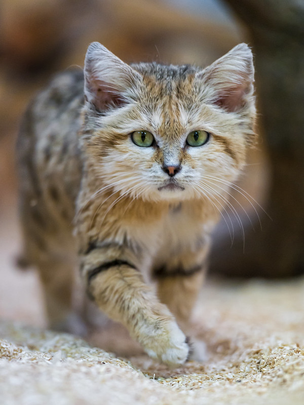 Sand cat walking towards me