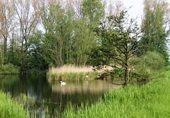 Swans breeding on nest in pond