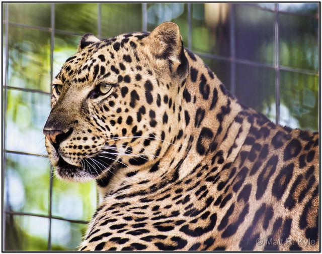 Asian Lepard 74