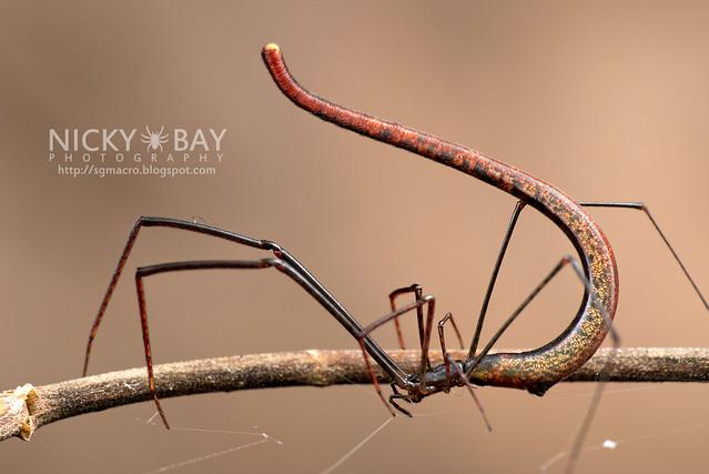 Twig Spider (Ariamnes sp.) - DSC_1961