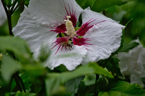 Honey Bee Ready for Flight on a Hibiscus