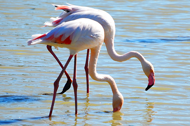 Two Flamingoes, Ornithological Park, Saintes Maries de la Mer, Camargue, France