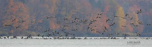 autumn fall geese fallcolors canadageese pinelake ohiostatefootball ohiowildlife ohiobirds