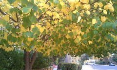 maidenhair tree(0.0), birch(0.0), flower(0.0), ginkgo(0.0), autumn(0.0), deciduous(1.0), branch(1.0), leaf(1.0), tree(1.0), sunlight(1.0), plant(1.0), produce(1.0),
