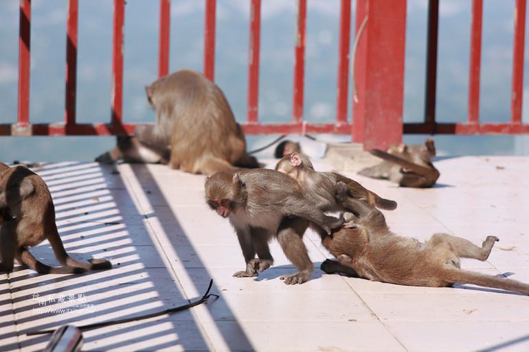 台南私藏景點-南化烏山獼猴 (14)