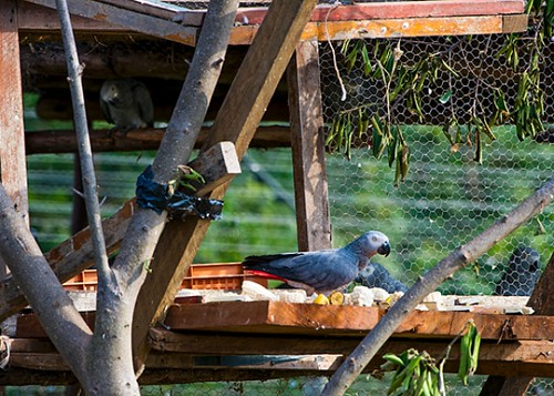 Ngamba Island In Lake Victoria Grey Parrots