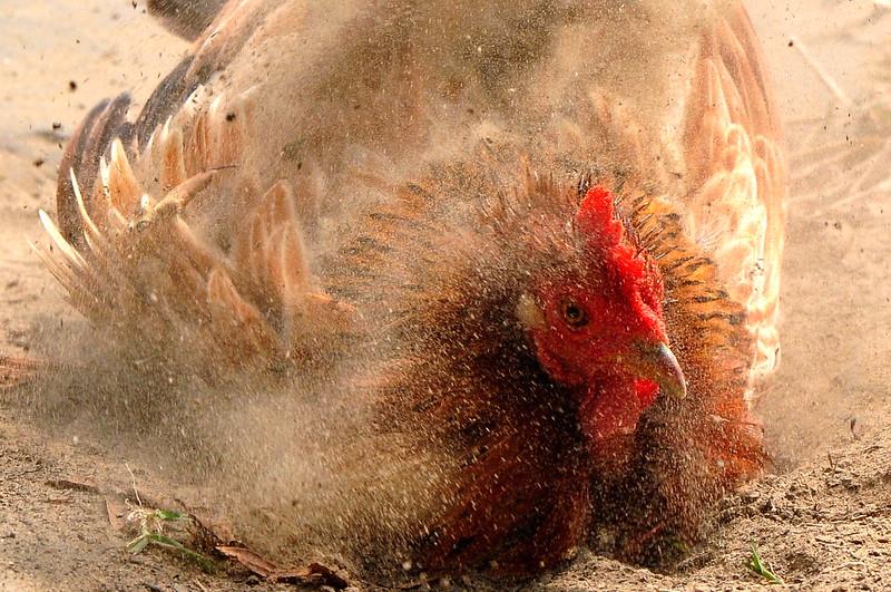 雞 (2)~2