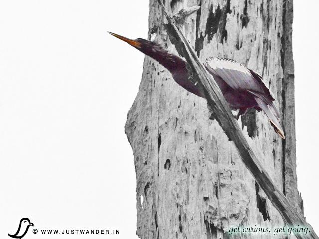 PIC: Cajun Country Swamp Tour - Birding - Heron