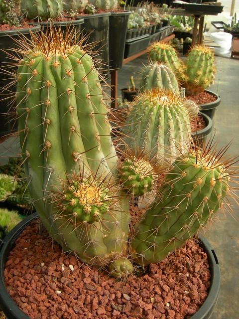 Copiapoa in cultivation 11739559133_b3d9254d3c_z