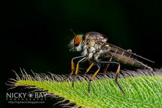 Robberfly (Asilidae) - DSC_4502