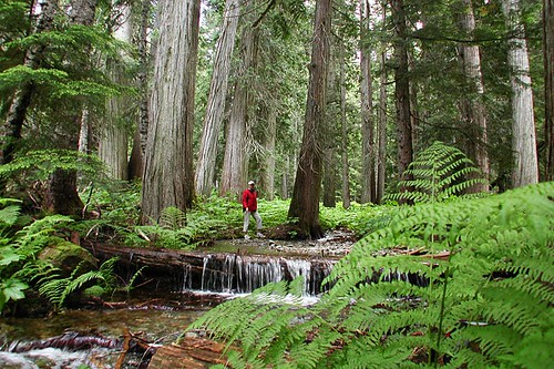 Ancient Cedar Forest on Cougar Mountain, Whistler, Whistler Valley, British Columbia, Canada
