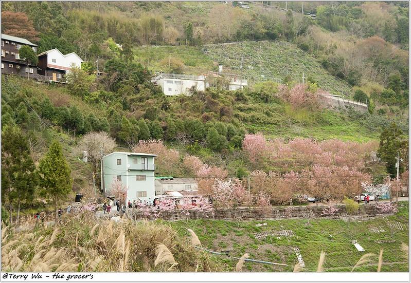 2014-3-01 拉拉山櫻花-20