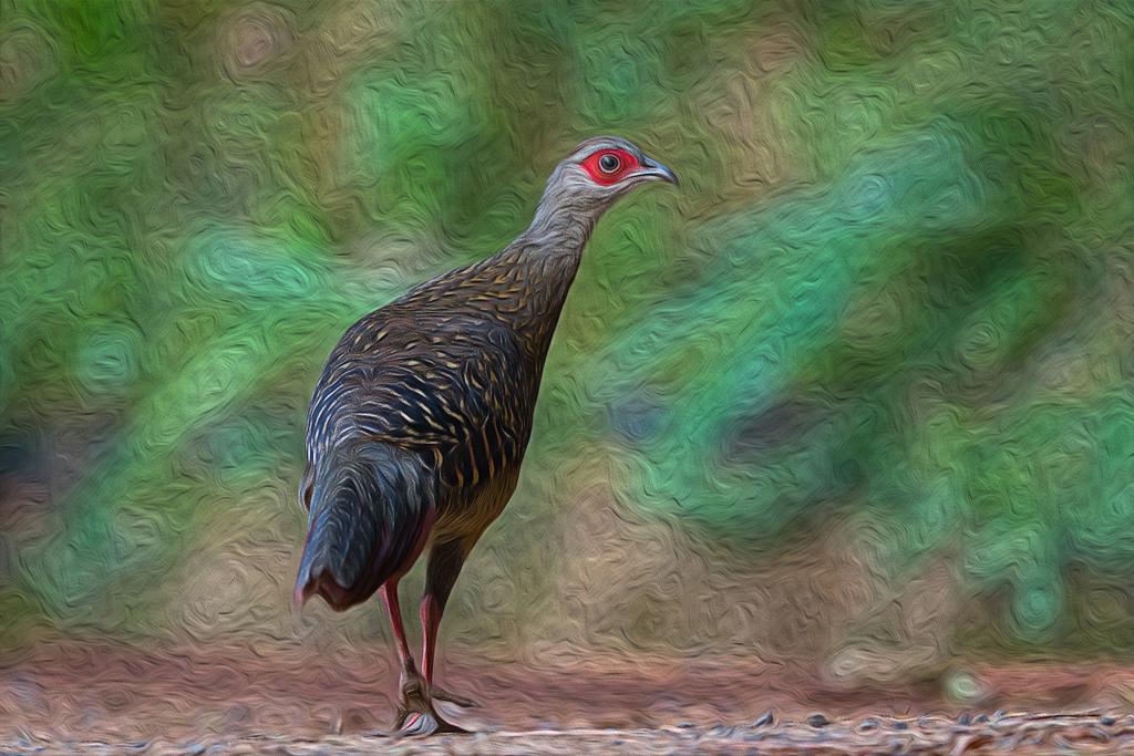 藍腹鷴母鳥