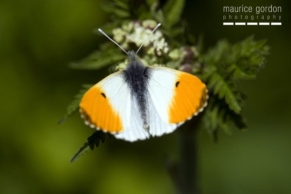 orange-tip83