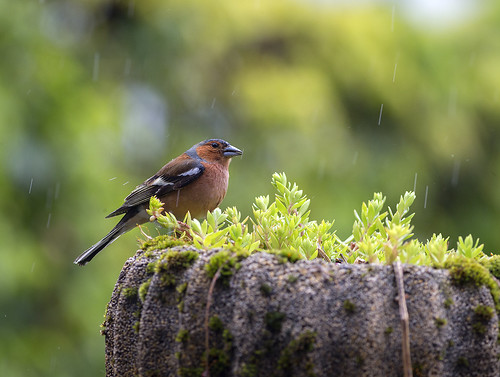 Fringuello sotto la pioggia