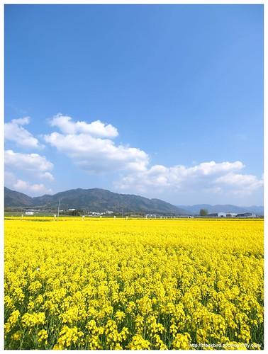 Field mustard $04