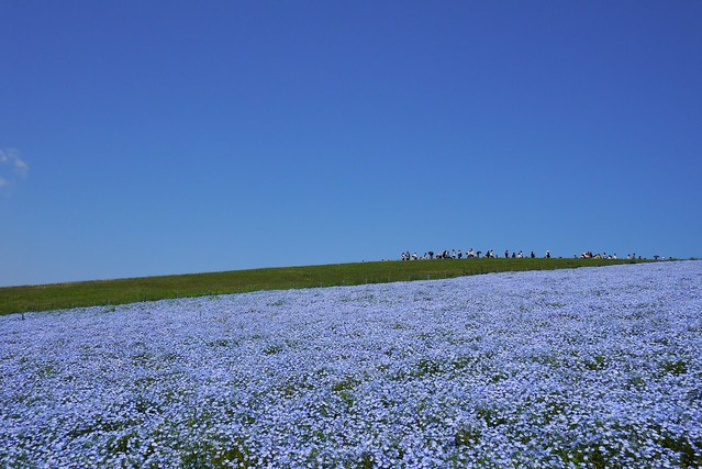 Blue Sky and Blue Nemophila