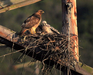 Red-tailed Hawk nest with three young, north Morro Bay, CA